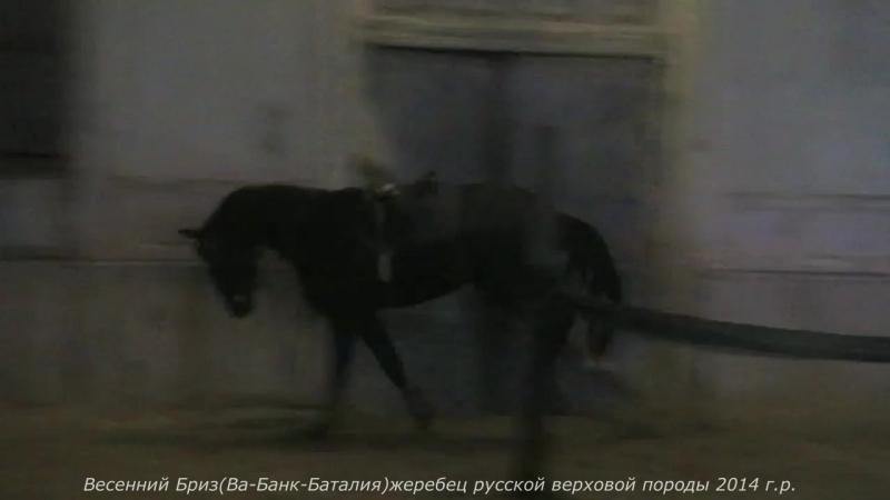 Весенний Бриз(Ва-Банк-Баталия-Интриган) жеребец русской верховой породы 2014 г.р.