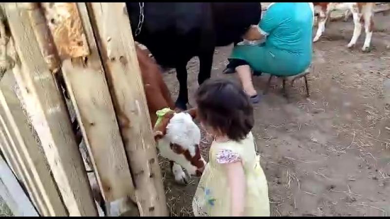 мама сиыр сауп жатр