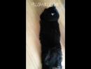 Длинношерстная британская кошка Plush Blue Ray