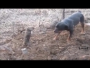 ШОК Суслик победил ротвейлера Битва титанов SHOCK Gopher won Rottweiler Clash