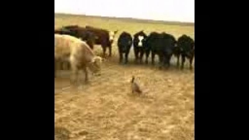 Птица разогнала стадо быков_144p.3gp
