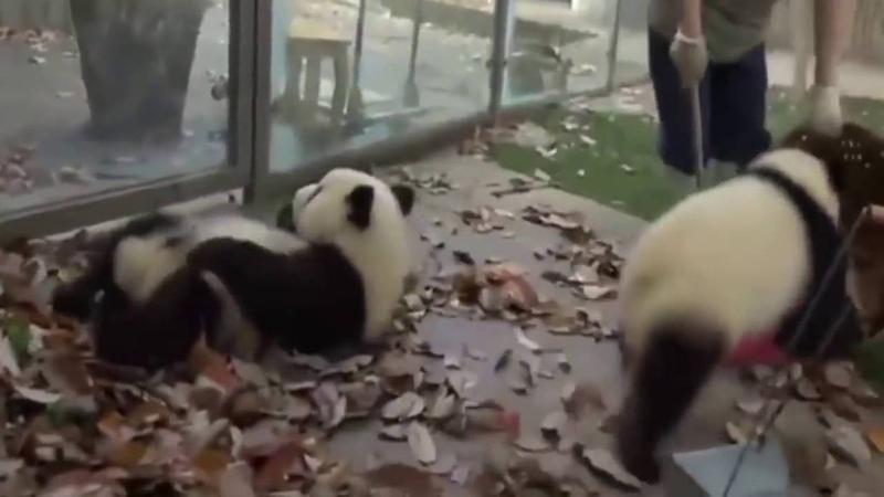 Две вредные панды не дают женщине убирать листву
