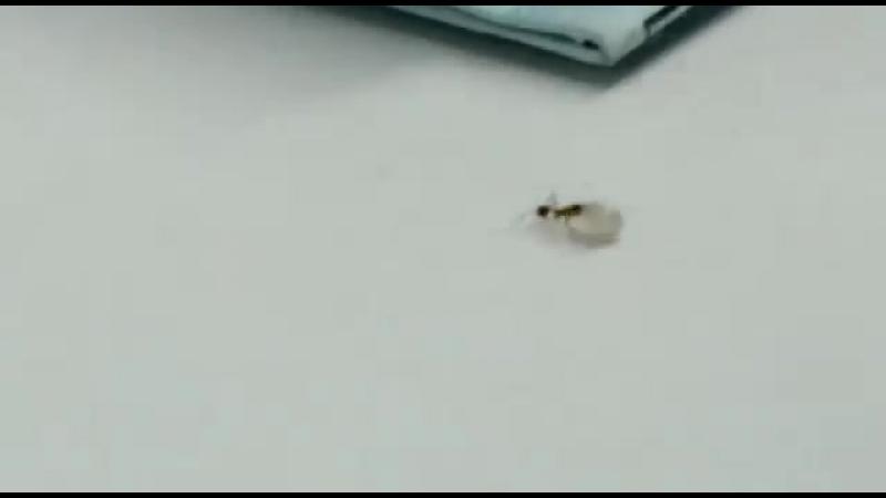 Брильянтовый муравей. Или как муравей хотел утащить брильянт.