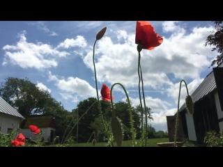 The-Poppy