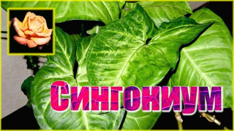 Сингониум.Уход и размножение. Комнатные растения.