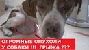 Питбуль с огромной грыжей и опухолями Спасли больную собаку Ветеринарное ранчо