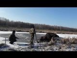 Просто добрая история о том, как в Белоруссии спасли лося из ледяного плена