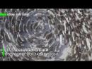 Беспилотник снял странное поведение северных оленей