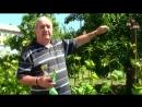 Как подвязывать виноград Выбор подвязок для винограда
