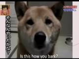 Азиаты научили пса гавкать шепотом