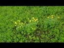 Целая поляна Купальницы европейской в долине реки Полосня 20 05 2018г
