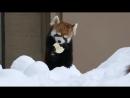 Красная панда и первый снег. Red Panda and snow