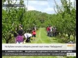 Кубань 24 - На Кубани начали собирать ранний сорт сливы «Кабардинка»