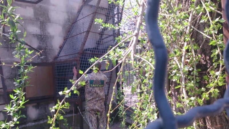 Перемещение шимпанзе в новый вольер в Тайгане