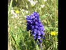 Нетронутые земли родят красоту) Мускари луговые. Виноградный гиацинт.
