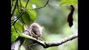 Голохвостый пушистый опоссум (лат. Caluromys philander)