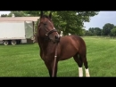 Bolt d'Oro on the farm in Kentucky