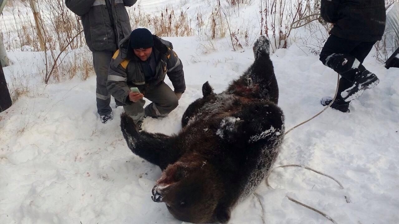 В Томской области погиб медведь, забравшийся на трансформаторную будку