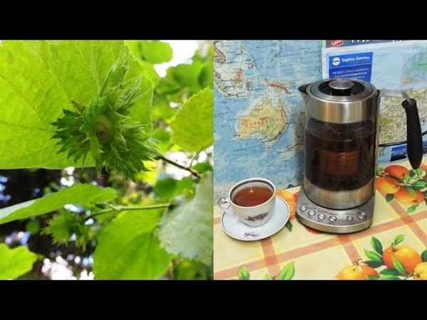 Ореховый чай из листьев лещины. Варикоз, тромбофлебит и аденома. Nut tea.