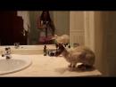Katze Cornish Rex wir bereiten uns für Katzenausstellung