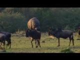 BBC «Переход: Шпион среди антилоп гну (2). Переправа» (Познавательный, природа, животные, 2006)