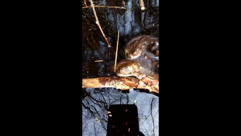 жабы-некрофилы