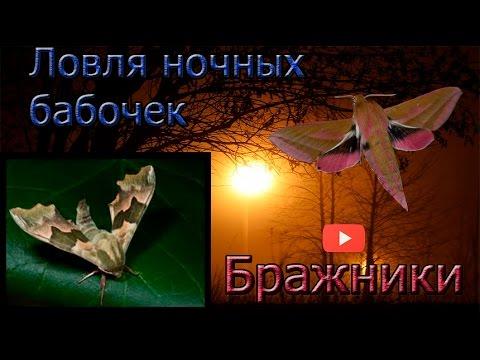 Ловля ночных бабочек без цензуры. Бражники. Catching moths without censorship.