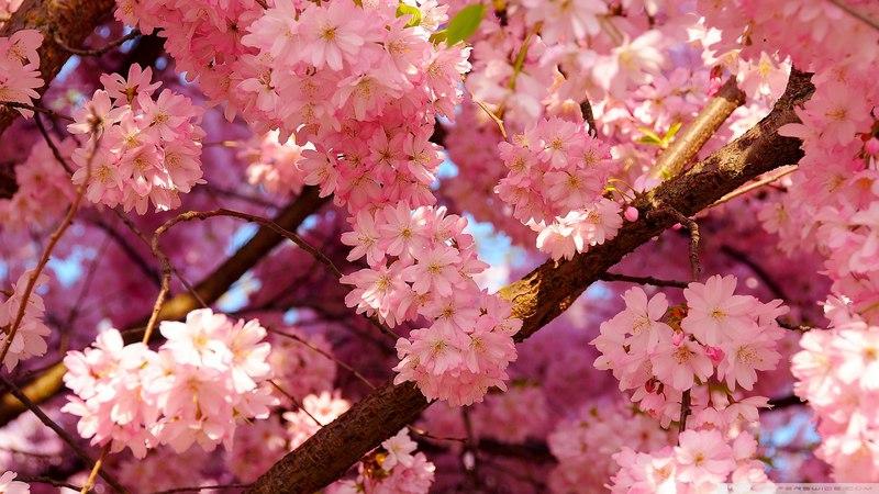 3.5 часа весеннего настроения! Цветение нежной сакуры. Пение птиц. Журчание ручейка