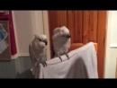 Попугай ухажёр