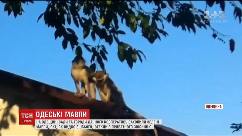 Мавпи атакують. Чому одеським дачникам доводиться захищати свої сади від екзотичних утікачів