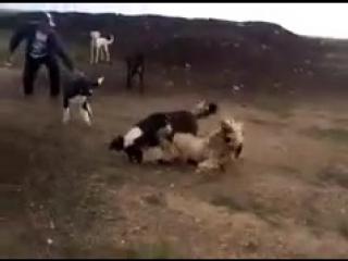 Собачьи бои казахский тазы vs САО алабай (240p).mp4