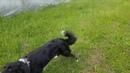 Смешная собака. Ингардия Эврика. КИНОпсы