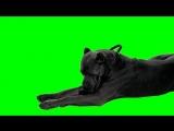 cane corso green screen!!