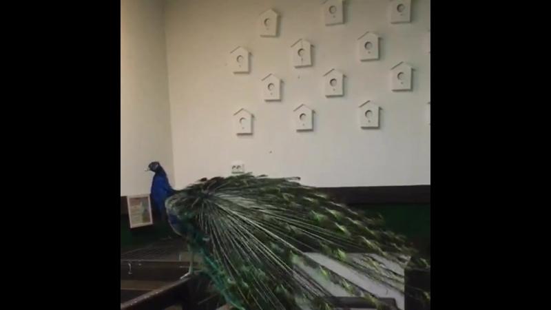 Классический павлин в контактном зоопарке в ТЦ Русь на Волге