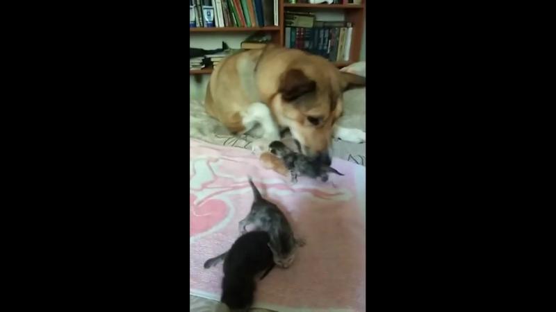 Челябинская собака стала мамой шестерых котят mp4