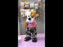 Поющая и танцующая собака