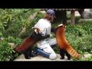 Весёлые Красные Панды ...