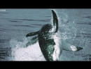 Great White Shark Attack And Breach - Planet Earth - BBC Earth