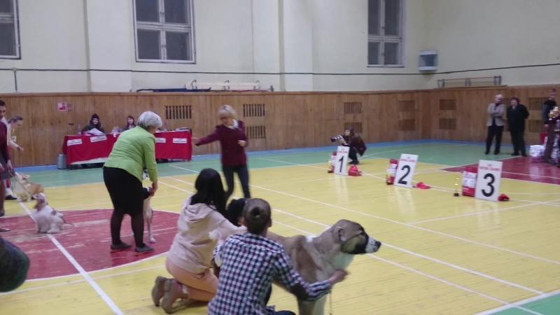 Бест щенков Лиза. 16.12.17 выставка собак город Кострома,эксперт Бегма И.В. моя маленькая Лиза в классе щенков ЛЩ ,Бест щенков -