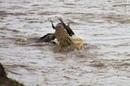 Нильский крокодил на миграциях