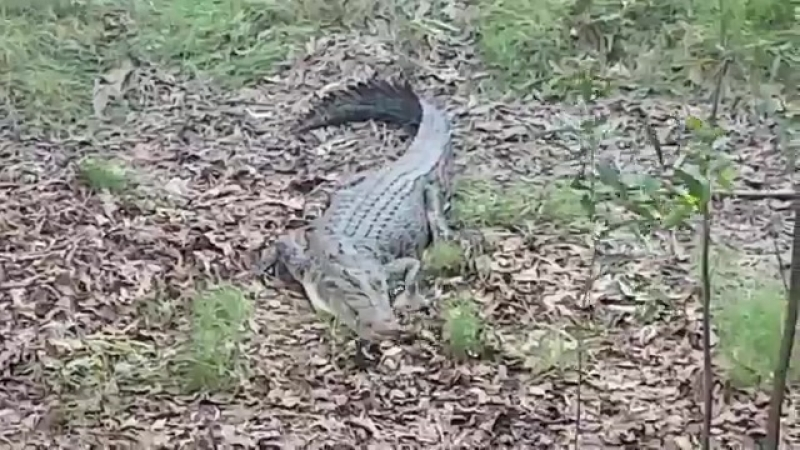 ''Крокодил'' (аллигатор) Кейси покоряется пушистому терьеру Каю