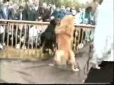 Собачьи бои Алабай против Добермана .