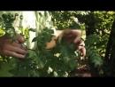 Разнообразие побегов клен рябина Морфология растений 5