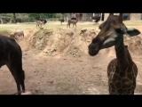 У ЖИРАФА ЯЗЫК 50 СМ. Заповедник. Открытый зоопарк. Евгения Нагорных путешествует в Тайладе.