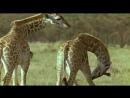 Ребятам о Зверятах - Жирафы (5 Сезон 2 Серия от ASHPIDYTU в 2006)