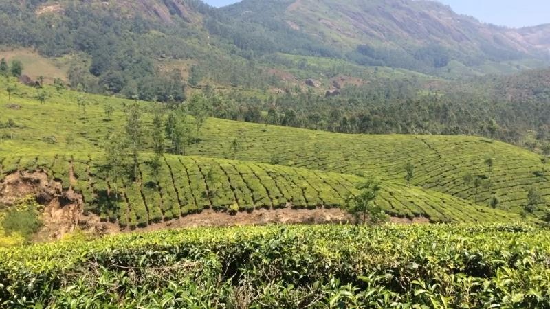 Чайные плантации, Муннар, Индия