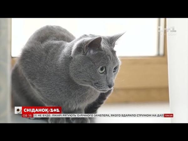У гостях Сніданку власниця російських голубих кішок Катерина Топтунова зі своїми улюбленцями