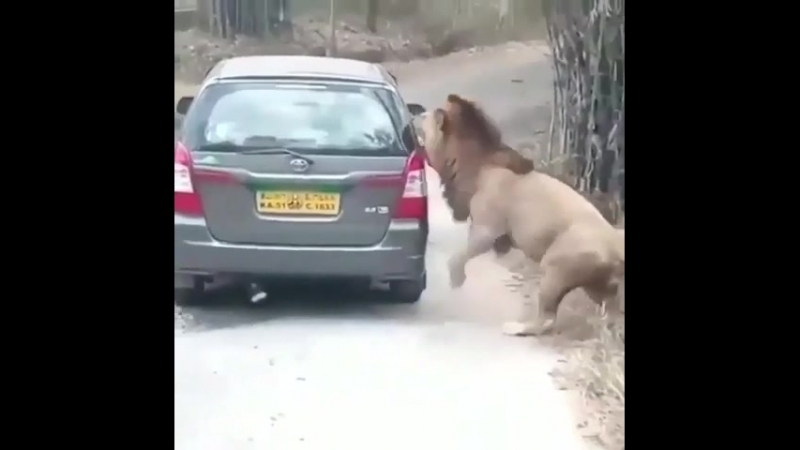 Hungry lion 🦁