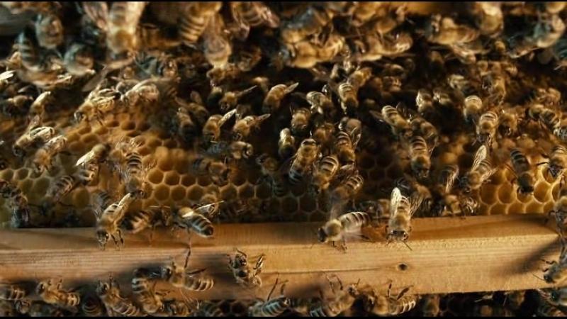 Больше чем мёд /More Than Honey, 2012