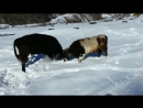 Бык Против Быка бои животных. битва быков